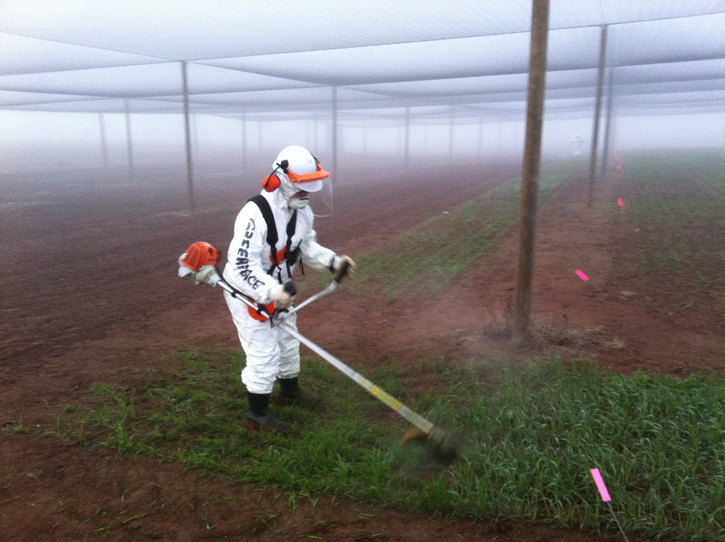 GM crops being destroyed